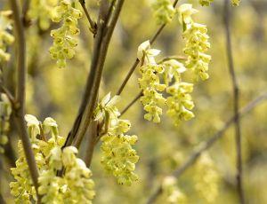 Hohe Scheinhasel • Corylopsis spicata