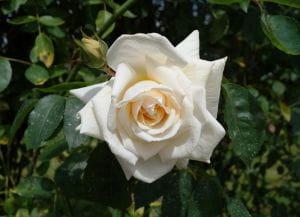 Rose Ilse Krohn superior ® • Rosa Ilse Krohn superior ®