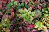 Garten-Nachtkerze 'Yella Fella' - Oenothera pilosella 'Yella Fella'