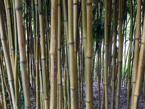 Zickzack-Bambus • Phyllostachys aureosulcata spectabilis