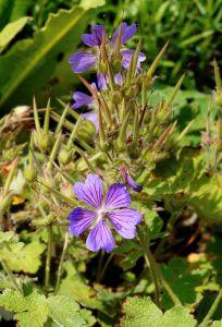 Garten Storchschnabel Philippe Vapelle • Geranium renardii Philippe Vapelle