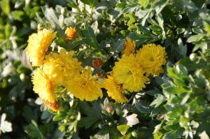 Winteraster Bienchen - Chrysanthemum Hortorum Bienchen