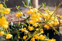 Rosmarin Berberitze • Berberis stenophylla