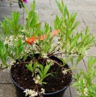 Kriechende Sandkirsche • Prunus pumila depressa