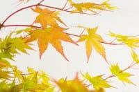 Fächerahorn Beni kawa • Acer palmatum Beni kawa