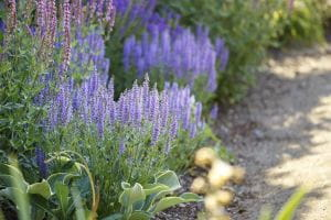 Garten-Blüten-Salbei Amethyst • Salvia nemorosa Amethyst