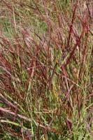 Garten-Ruten-Hirse • Panicum virgatum Hänse Herms