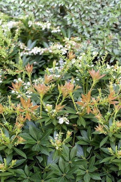 Schattenglöckchen Prelude • Pieris japonica Prelude