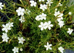 Heidenelke Albus • Dianthus deltoides albus