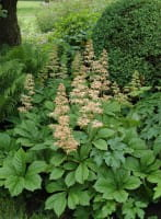 Kastanienblättriges Schaublatt - Rodgersia aesculifolia, gen.