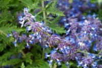 Blauraute Lacey Blue (Lisslitt)® • Perovskia atriplicifolia (Lisslitt)