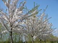 Tokio Kirsche • Prunus yedoensis