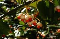 Immergrüne Kriechspindel • Euonymus fortunei radicans