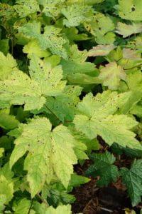 Lanzen Silberkerze • Cimicifuga racemosa var.cordifolia