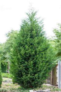 Baumzypresse / Riesenzypresse • Cupressocyparis leylandii