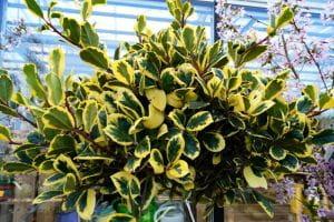 Gelbbunte Stechpalme Golden King • Ilex altaclerensis Golden King