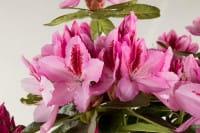 Rhododendron Furnivalls Daughter • Rhododendron Hybride Furnivalls Daughter