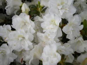 Japanische Azalee Schneeperle® • Rhododendron Schneeperle
