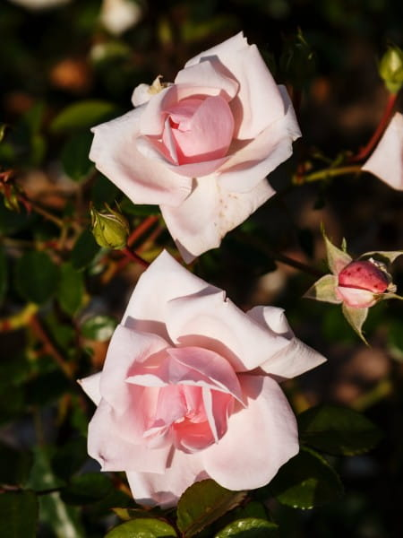 Rose New Dawn • Rosa New Dawn