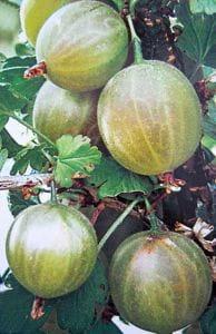 Stachelbeere grün • Ribes uva-crispa Hinnonmäki Grün