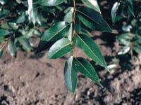 Lorbeerweide • Salix pentandra