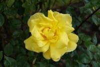 Kletterrose Golden Showers • Rosa Golden Showers