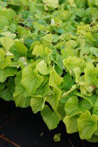 Garten-Pfingst-Veilchen Albiflora • Viola sororia Albiflora
