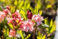Sommergrüne Azalee Corneille • Rhododendron luteum Corneille
