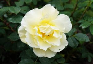 Rose Gelbe Dagmar Hastrup • Rosa rugosa Gelbe Dagmar Hastrup