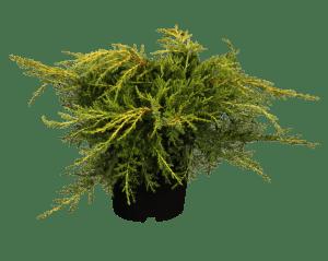 Gelber Pfitzer Wacholder • Juniperus media Pfitzeriana Aurea