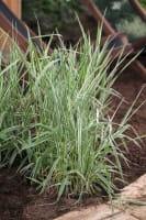 Rohrglanzgras Picta • Phalaris arundinacea Picta