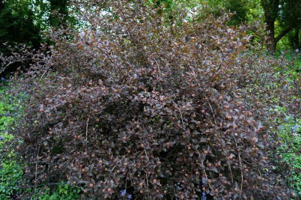 Fasanenspiere Summer Wine® • Physocarpus opulifolius Summer Wine