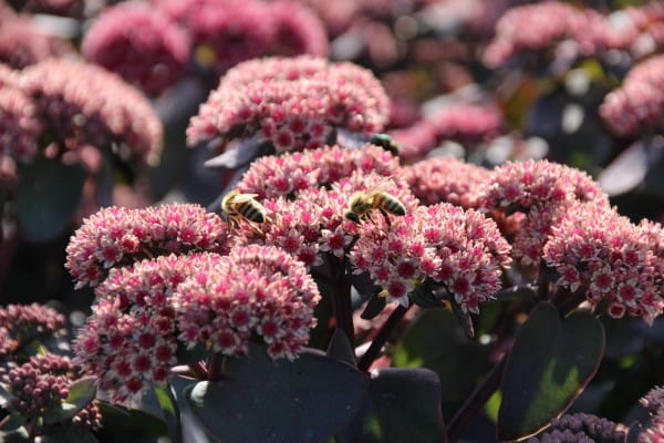 Garten-Fettblatt Karfunkelstein • Sedum telephium Karfunkelstein