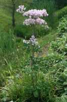Wiesenraute • Thalictrum aquilegifolium