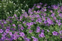 Behaarter Storchschnabel Vital • Geranium ibericum Vital