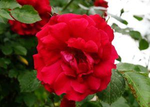 Rose Flammentanz ® • Rosa Flammentanz ®